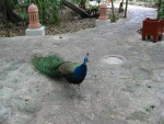 Peacock on the jungle path