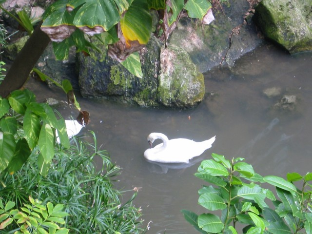 Swans swimming in the pond near the buffet