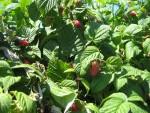 Berries on the bush