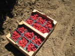 My berries I picked 8 pounds
